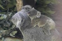 コアラの赤ちゃん「ニシチ」(多摩動物公園) - 続々・動物園ありマス。