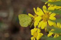 ツワブキに集まる蝶たち - 蝶と蜻蛉の撮影日記
