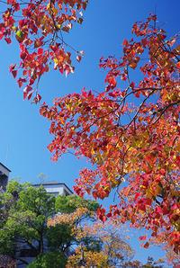 街路樹『紅葉』2 - 素奈男のお気楽ブログ