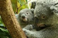 僕はコアラの赤ちゃん「ニシチ」、生れて10ヵ月です - 旅プラスの日記