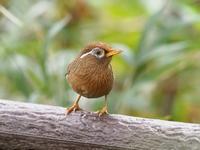 ガビチョウが賑やかでした - コーヒー党の野鳥と自然パート3