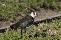 タゲリ - くろせの鳥