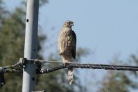 オオタカ - くろせの鳥