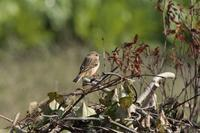 ノビタキ - くろせの鳥