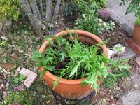 そら豆・水菜・玉ねぎをはじめて植えつけました。 - へい まささん の ひとりごと