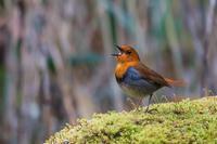 2019年の決算(コマドリ) - 野鳥などの撮影記録