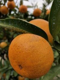 紅葉の季節は柑橘類も美しい色に・・・ - 島暮らしのケセラセラ