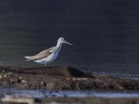 アオアシシギ&コアオアシシギ - 『彩の国ピンボケ野鳥写真館』