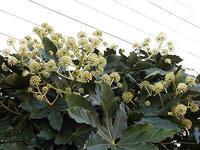 ヤツデの花と新入りのモミジ - しらこばとWeblog