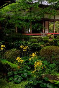 三千院の石蕗とホトトギス - 花景色-K.W.C. PhotoBlog