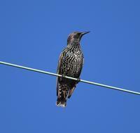 ホシムクドリ - 打出頑爺の鳥探し