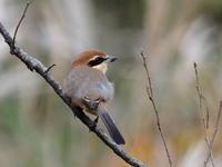 舞岡公園でモズを観察 - コーヒー党の野鳥と自然パート3