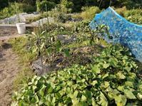 今年の菜園での収穫 - 瀬戸内で遊ぶ