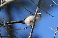 シマエナガほか今日の園地で - 今日の鳥さんⅡ