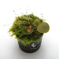 New arrival plants   新掲載植物レパンテス、ポログロッサムなどの南米原産の小型着性蘭各種掲載致しました。 - ZERO PLANTS / BLOG