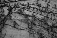 蔦の冬 - フォトな日々