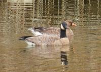 チュウカナダガン(Branta canadensis parvipesLesser Canada Goose) - なんでもブログ