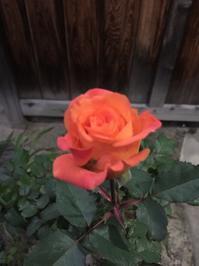 あの薔薇のゆくえ - 今日もひとつだけ