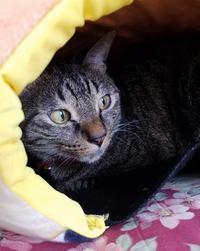 隠れる - キジトラ猫のトラちゃんダイアリー