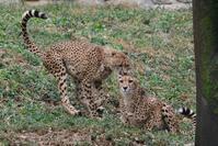 ハヤトとロン親子分けだけじゃなかった・・・ - 動物園に嵌り中2