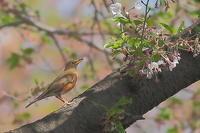 2019年を振り返って…桜とアカハラ - 上州自然散策3