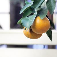 柑橘祭りかっ!! - さにべるスタッフblog     -Sunny Day's Garden-