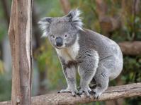メルボルン動物園のコアラ - bonsoir