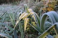 香取に初霜がおりました。 - 週刊「目指せ自然農で自給自足」