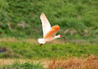 おまへは鴇(とき)といふ鳥かい ―佐渡のトキ① - イーハトーブ・ガーデン