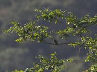 アリスイ - Wild Birding
