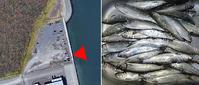 2019・12・1  石狩湾新港樽川埠頭のニシン釣り22:20〜23:30 - たどり着いたら、いつもチカ釣り