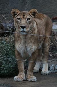 会いたかったライオン - 気まぐれZOOⅡ