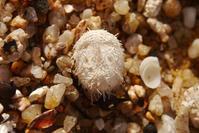 小さなオオブンブク - Beachcomber's Logbook