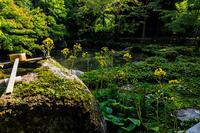 蓮華寺の石蕗 - 花景色-K.W.C. PhotoBlog