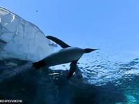 空を飛んでるみたいだね、ペンギンさん~11月の旭山動物園 - My favorite ~Diary 3~