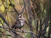 北本自然観察公園にいた野鳥 - コーヒー党の野鳥と自然パート3