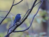 今季余り見られない、、ブルーの姿、、 - ぶらり探鳥