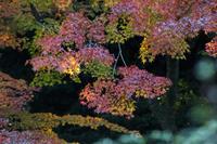 今日の旧古河庭園紅葉とバラ - meの写真はザンス