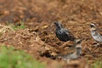 ホシムクドリ発見! - 淡路島の野鳥ブログ...++