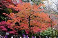 紅葉・黄葉(高尾山) - くろちゃんの写真