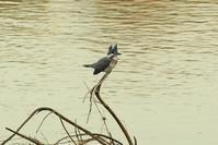 こんなところにヤマセミが! - 近隣の野鳥を探して2