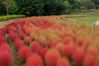 コキアと秋の花々(馬見丘陵公園) - 花景色-K.W.C. PhotoBlog