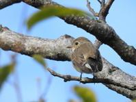 Brown Flycatcher - *la nature*