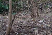 ■ヤマシギ、アカハラ今季初見の鳥19.12.5 - 舞岡公園の自然2