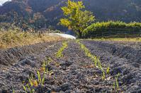 麦と豆 - 良え畝のブログ