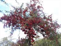 ピラカンサ - だんご虫の花