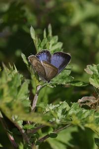 師走に入ってクマソとヤクルリの様子 - 蝶超天国
