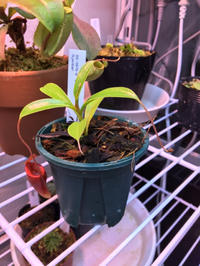 Nepenthes jamban 12月7日 - My funny carnivorous plants
