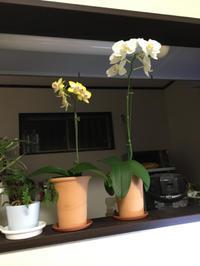 10月に買ってきたコチョウラン - My funny carnivorous plants