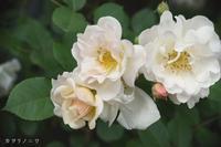 優雅に咲く半八重の薔薇 - カヲリノニワ